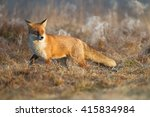 mammals   red fox  vulpes... | Shutterstock . vector #415834984