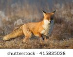 mammals   red fox  vulpes... | Shutterstock . vector #415835038