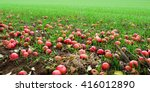 Red Apples Fallen In The Green...