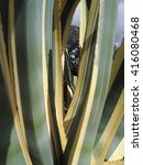 Small photo of American Agave
