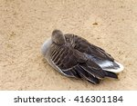 White Fronted Goose  Brown Duc...