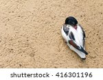 Shelduck  Black And White Duck  ...