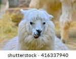 Alpaca  White Ilama