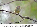Small photo of Striated Thornbill (Acanthiza lineata) perched on a branch, Sydney, Australia