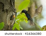 Songbird  Common Starling ...