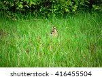 Small Eurasian Curlew Chicken...