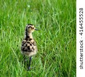 Cute Eurasian Curlew Bird...