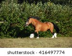 Shire Horse Galloping On Meadow