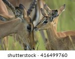impala female with calf. kruger ... | Shutterstock . vector #416499760