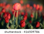 amazing nature of red tulips... | Shutterstock . vector #416509786