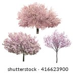 Blossoming Pink Sacura Trees...