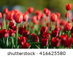 amazing nature of red tulips... | Shutterstock . vector #416625580