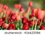 amazing nature of red tulips... | Shutterstock . vector #416625586