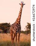 wild african giraffe in an open ... | Shutterstock . vector #416672974