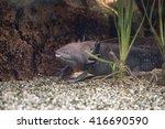 Axolotl Mexican Salamander...