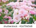 Stock photo beautiful rose in japan 416706568