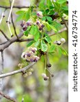 Small photo of Male flowers of Akebia Quinata (Akebi in japanese) in spring