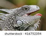 Closeup Of A Green Iguana ...