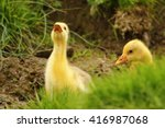 Cute Gosling Being Angry At Th...