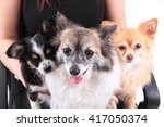 Three Chihuahua Dogs Are...