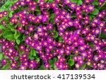 Purple Primula Or Pruhoniciana...