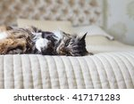 Stock photo domestic cat on the bed 417171283