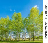 Birch Tree Grove At Spring Day...