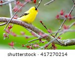 Yellow Finches in a purple Mountain ash tree in spring