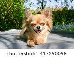 Smiling Chihuahua Sitting...