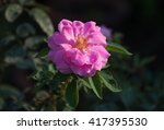 close up of single blooming... | Shutterstock . vector #417395530