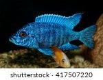 Nice Blue Ob Male Of Cichlid...