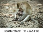 Baby Monkey Eating Milk From...