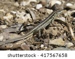 Small photo of Snake-eyed Lacertid - Ophisops elegans Common Lizard in Cyprus