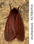 Small photo of Ruby tiger moth (Phragmatobia fuliginosa) from above. British insect with red and brown colours, in the family Erebidae, previously Arctiidae, at rest.