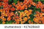 Orange Begonia Flowers Bloomin...