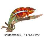 panther chameleon   male  ... | Shutterstock . vector #417666490