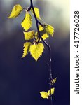 Small photo of A birch leaves against the sun. Fresh leaves try to tell that the summer is coming after all