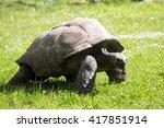 Small photo of Aldabra Tortoise, Dipsochelys dussumieri, grazing on grass