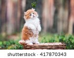 Stock photo red and white british longhair kitten posing outdoors 417870343