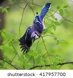 Blue Jay Take Off