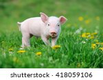 Young funny pig on a spring...