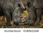 Herd Of Rhino Fighting In Dust...