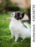 Stock photo puppy breeds papillon on the green grass 418108750