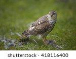 Close Up Bird Of Prey Eurasian...
