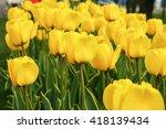tulip. beautiful field of... | Shutterstock . vector #418139434