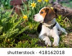 beagle puppy in the garden. | Shutterstock . vector #418162018
