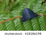 Small photo of Ricaniidae Planthopper