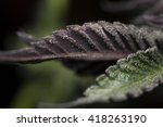 Purple And Green Cannabis Leaves