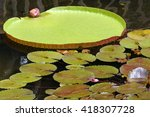 Green Giant Lily Pad Above...