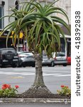 Small photo of Small aloe tree (perhaps Aloe ferox) on blurred urban background with parked cars.